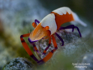 Emperor Shrimp by Iyad Suleyman 